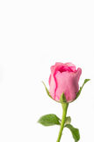 Pink roses on a white background Royalty Free Stock Photo