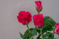 Pink roses on a white background. Royalty Free Stock Photography