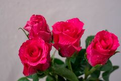 Pink roses on a white background. Stock Photo