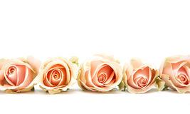 Pink roses on white Royalty Free Stock Image