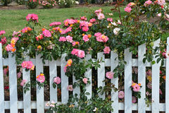 Pink roses and white picket fence. Beautiful pink roses growing on white picket fence Royalty Free Stock Photos