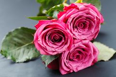 Pink roses  on white Royalty Free Stock Photos