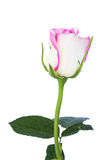 Pink roses. White rose beautiful rose with leaves isolated on white Royalty Free Stock Photography