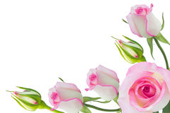 Pink roses. White rose beautiful rose with leaves isolated on white Stock Photos