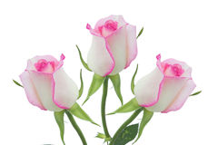 Pink roses. White rose beautiful rose with leaves isolated on white Stock Photo