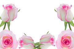 Pink roses. White rose beautiful rose with leaves isolated on white Stock Image