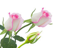 Pink roses. White rose beautiful rose with leaves isolated on white Royalty Free Stock Image