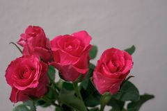Pink roses on a white background. Royalty Free Stock Photo