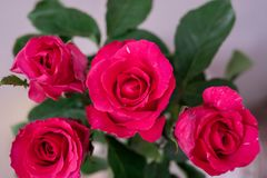 Pink roses on a top view white background. Stock Photo