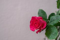 Pink roses on a white wall background. Royalty Free Stock Image