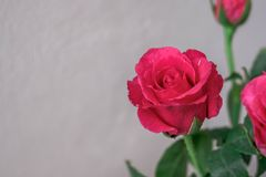 Pink roses on a white wall background. Stock Photography