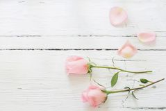 Pink roses on white background stock image