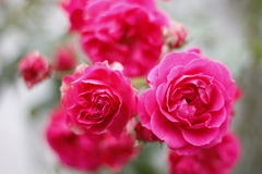 Pink roses. Wonderful pink roses Royalty Free Stock Photography
