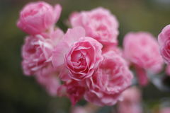 Pink roses Royalty Free Stock Image