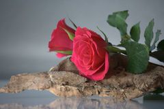 Pink roses on wood Royalty Free Stock Photography