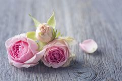 Pink roses. On a wooden background royalty free stock image