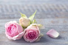 Pink roses. On a wooden background stock photos