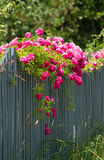 Pink roses on the wooden fence. Pink roses climbing on the wooden fence royalty free stock photos