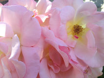 Pink roses with yellow centers Stock Photo