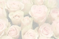 Pink roses. That you can use for a background Stock Photography