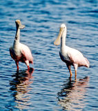 Pink Rosette Spoonbills Royalty Free Stock Photo