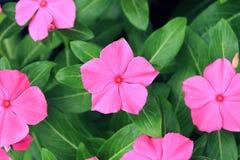Pink Roseus Flowers Stock Image