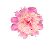 Pink and rosy peony flower. Isolated on white background Royalty Free Stock Photography
