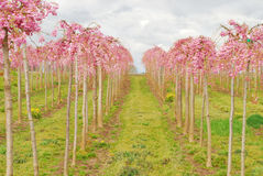 Pink Rows Stock Photo