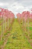 Pink Rows Stock Photos