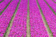 Pink rows of tulips Royalty Free Stock Image