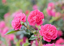 Pink Roxy Shrub Rose Sunrosa flowers Royalty Free Stock Photos