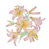 Pink royal lilies flowers on a white background. Vector illustration Royalty Free Stock Photo