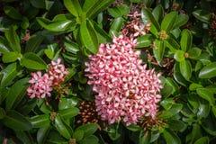 Pink rubiaceae Flowers Royalty Free Stock Image