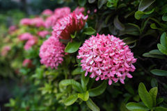 Pink rubiaceae among green leaves Royalty Free Stock Image