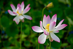 Pink Sacred Lotus Royalty Free Stock Photos