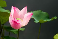 Pink Sacred Lotus Flower with a dark grey background. Image promotes a calm and serene feeling royalty free stock photo
