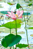 Pink sacred lotus Royalty Free Stock Photo