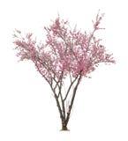 Pink sacura tree Royalty Free Stock Photos