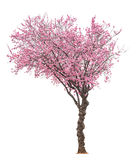 Pink sacura tree. Blossoming pink sacura tree isolated on white background Stock Photography
