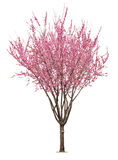 Pink sacura tree Royalty Free Stock Photos