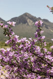 Pink Sage Bush Flowers Blossoming With Mountain in the Background Stock Photo