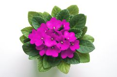 Pink saintpaulia african violet flower from above. Symbol of unaffectedness and faithfulness Stock Photo