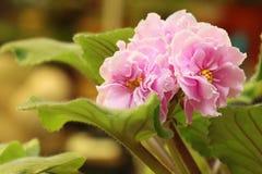 Pink saintpaulia Royalty Free Stock Image