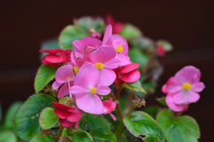 Pink Saintpaulias flowers, African violets Royalty Free Stock Images