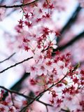 Pink Sakura. Cherry blossom is an omen of good fortune and is also an emblem of love, affection and represents spring in Japan Royalty Free Stock Images