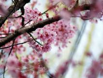 Pink Sakura. Cherry blossom is an omen of good fortune and is also an emblem of love, affection and represents spring in Japan Stock Photos