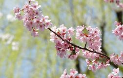 Pink Sakura Royalty Free Stock Photos