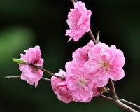 The Pink Sakura Royalty Free Stock Images