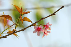 Pink Sakura. With branch on background Stock Image