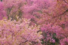 Pink Sakura Stock Image